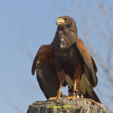 Águila de Harri [Parabuteo unicinctus]