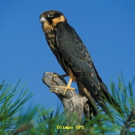 Alcotán europeo (Falco subbuteo)