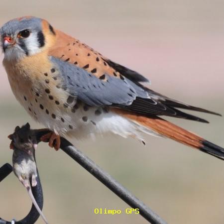 Cernícalo americano (Falco sparverius)